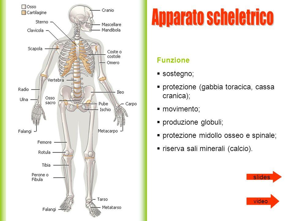 Apparato scheletrico Funzione sostegno;