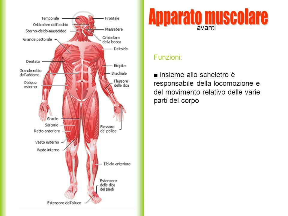 Apparato muscolare avanti Funzioni: