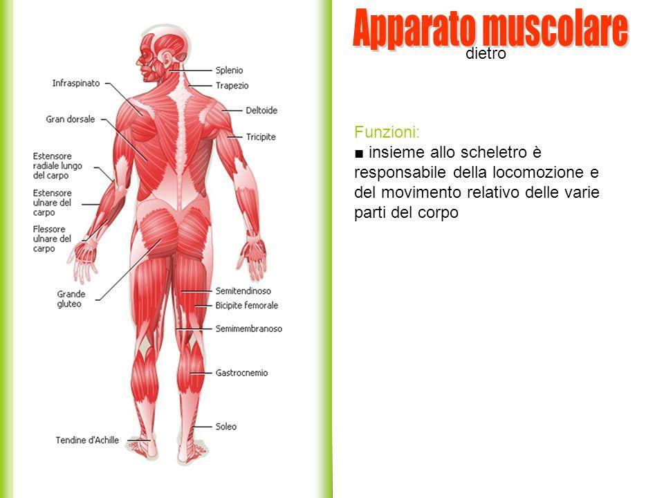 Apparato muscolare dietro Funzioni: