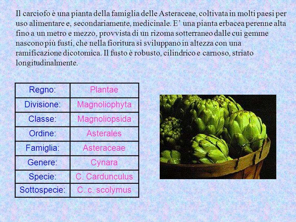 Il carciofo è una pianta della famiglia delle Asteraceae, coltivata in molti paesi per uso alimentare e, secondariamente, medicinale. E' una pianta erbacea perenne alta fino a un metro e mezzo, provvista di un rizoma sotterraneo dalle cui gemme nascono più fusti, che nella fioritura si sviluppano in altezza con una ramificazione dicotomica. Il fusto è robusto, cilindrico e carnoso, striato longitudinalmente.