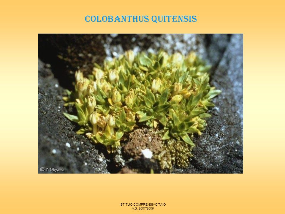 COLOBANTHUS QUITENSIS