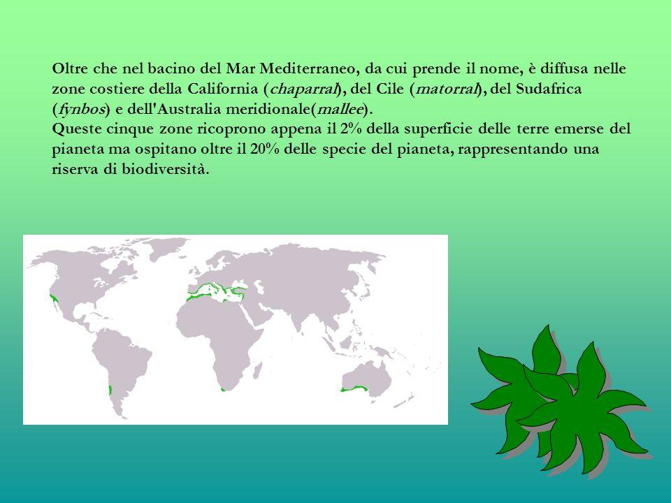 Oltre che nel bacino del Mar Mediterraneo, da cui prende il nome, è diffusa nelle zone costiere della California (chaparral), del Cile (matorral), del Sudafrica (fynbos) e dell Australia meridionale(mallee).