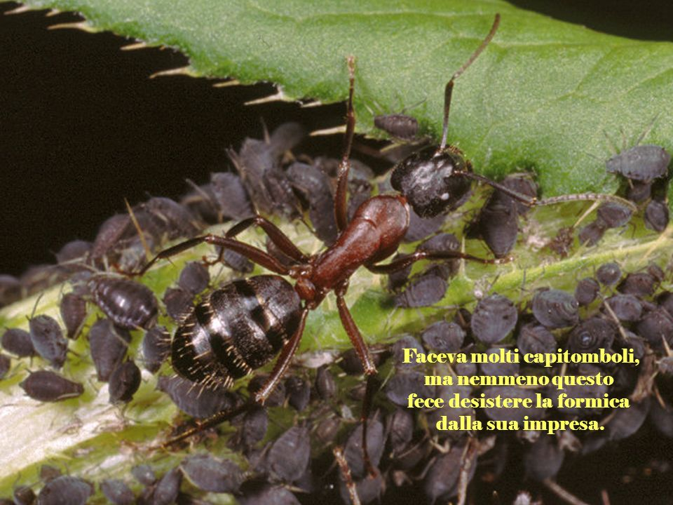 Faceva molti capitomboli, ma nemmeno questo fece desistere la formica