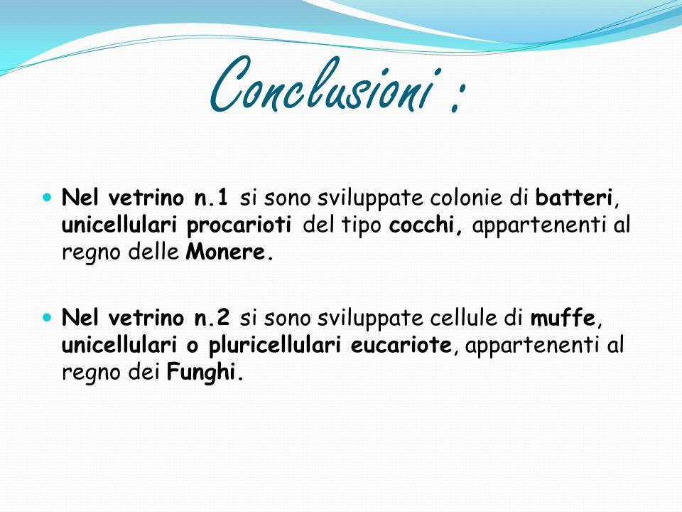 Conclusioni : Nel vetrino n.1 si sono sviluppate colonie di batteri, unicellulari procarioti del tipo cocchi, appartenenti al regno delle Monere.