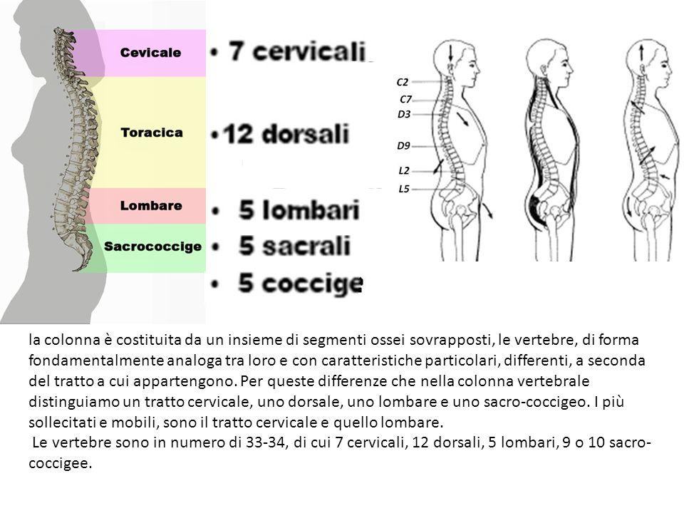 la colonna è costituita da un insieme di segmenti ossei sovrapposti, le vertebre, di forma fondamentalmente analoga tra loro e con caratteristiche particolari, differenti, a seconda del tratto a cui appartengono. Per queste differenze che nella colonna vertebrale distinguiamo un tratto cervicale, uno dorsale, uno lombare e uno sacro-coccigeo. I più sollecitati e mobili, sono il tratto cervicale e quello lombare.