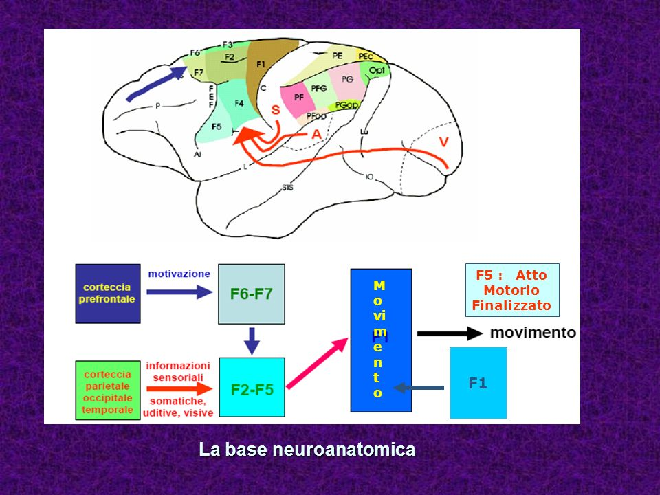 La base neuroanatomica