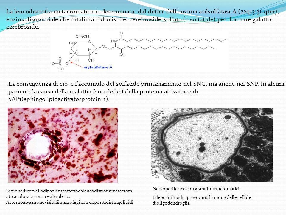 La leucodistrofia metacromatica è determinata dal defici dell enzima arilsulfatasi A (22q13.31-qter), enzima lisosomiale che catalizza l idrolisi del cerebroside-solfato (o solfatide) per formare galatto-cerebroside.