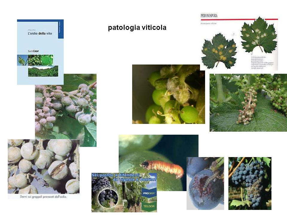 patologia viticola