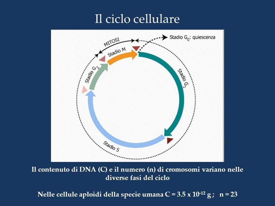 Nelle cellule aploidi della specie umana C = 3.5 x 10-12 g ; n = 23