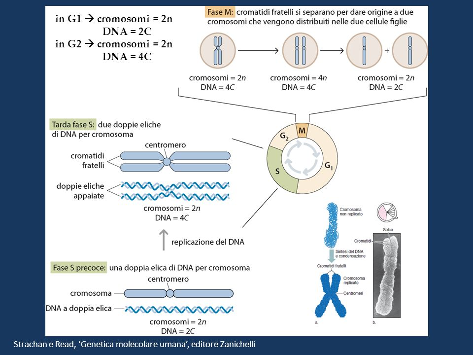 in G1  cromosomi = 2n DNA = 2C in G2  cromosomi = 2n DNA = 4C