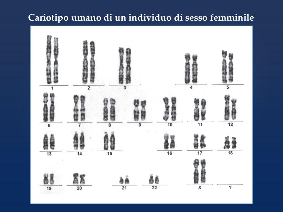 Cariotipo umano di un individuo di sesso femminile