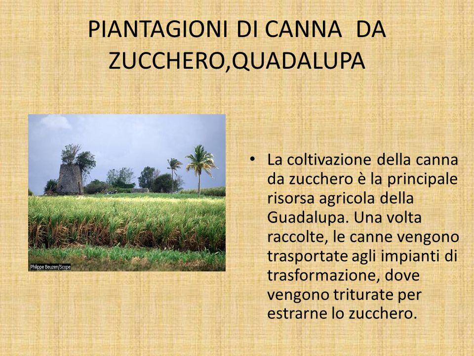 PIANTAGIONI DI CANNA DA ZUCCHERO,QUADALUPA