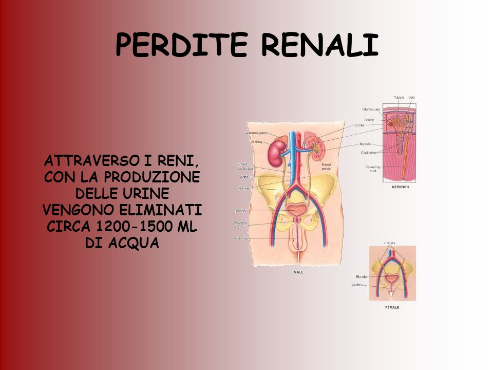 PERDITE RENALI ATTRAVERSO I RENI, CON LA PRODUZIONE DELLE URINE VENGONO ELIMINATI CIRCA 1200-1500 ML DI ACQUA.