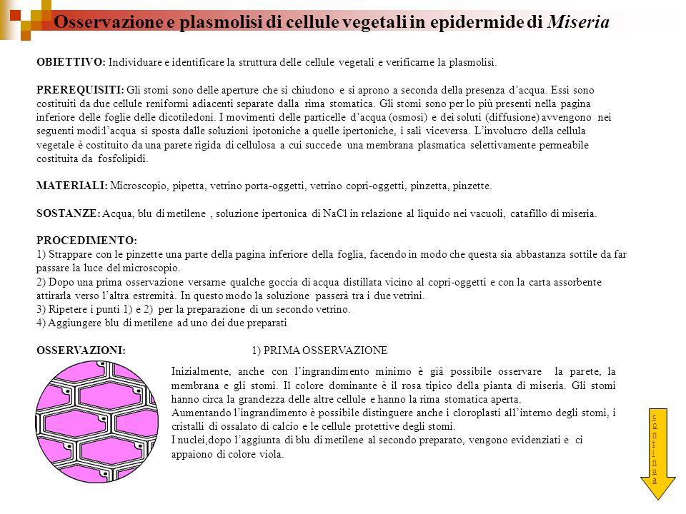 Osservazione e plasmolisi di cellule vegetali in epidermide di Miseria