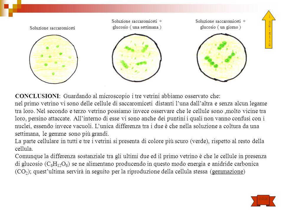 i n d i e t r o. Soluzione saccaromiceti + glucosio ( una settimana ) Soluzione saccaromiceti + glucosio ( un giorno )