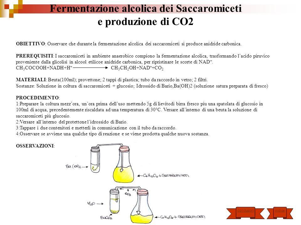 Fermentazione alcolica dei Saccaromiceti