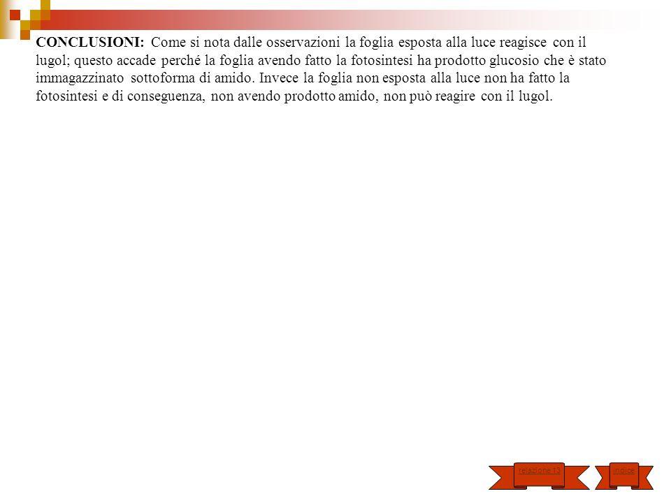 CONCLUSIONI: Come si nota dalle osservazioni la foglia esposta alla luce reagisce con il lugol; questo accade perché la foglia avendo fatto la fotosintesi ha prodotto glucosio che è stato immagazzinato sottoforma di amido. Invece la foglia non esposta alla luce non ha fatto la fotosintesi e di conseguenza, non avendo prodotto amido, non può reagire con il lugol.