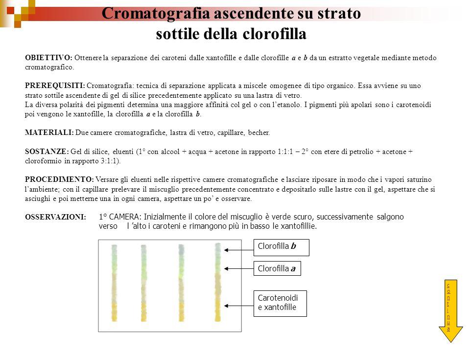 Cromatografia ascendente su strato sottile della clorofilla