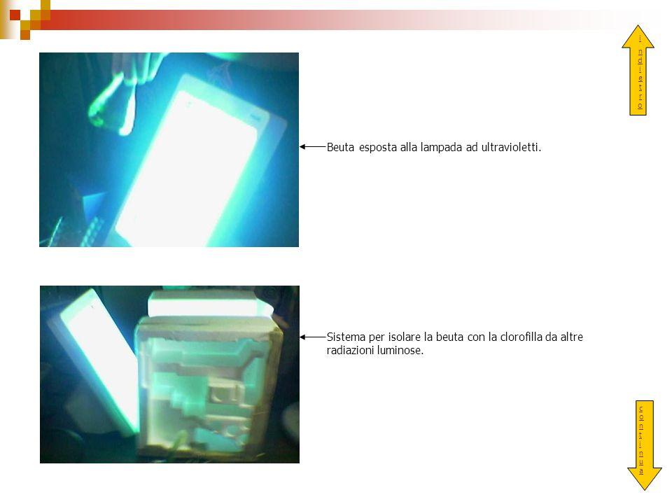 Beuta esposta alla lampada ad ultravioletti.