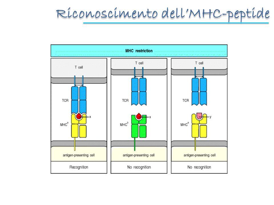 Riconoscimento dell'MHC-peptide