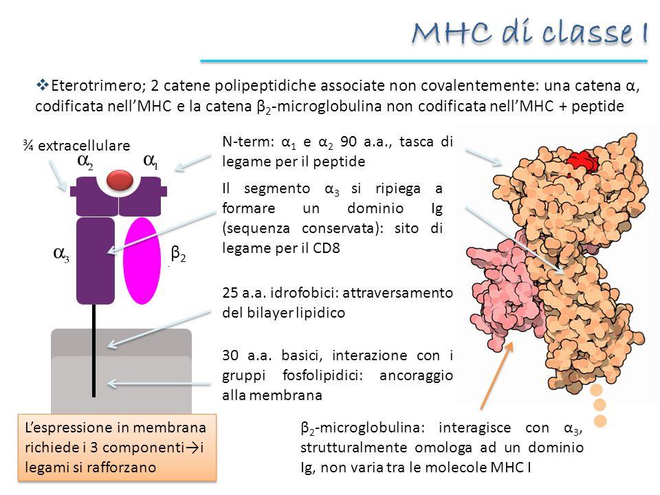 MHC di classe I
