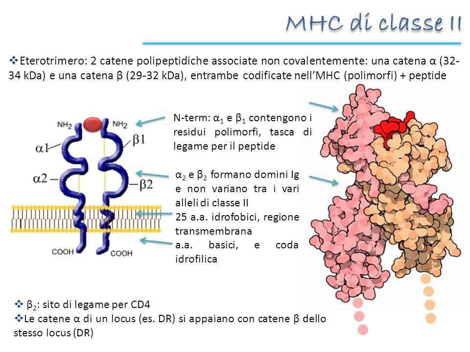 MHC di classe II