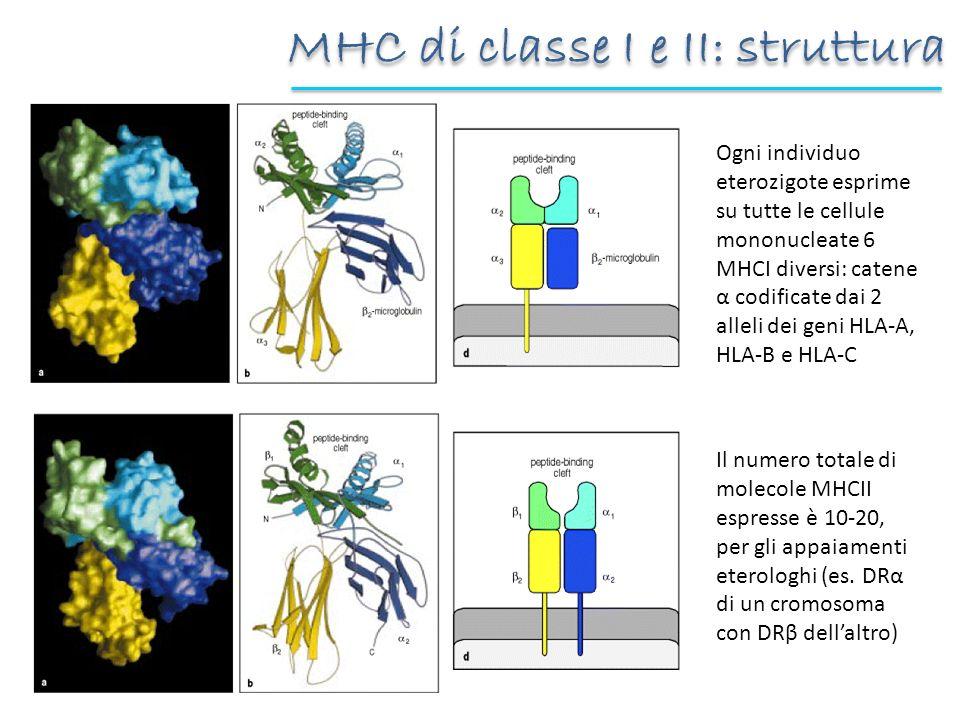 MHC di classe I e II: struttura