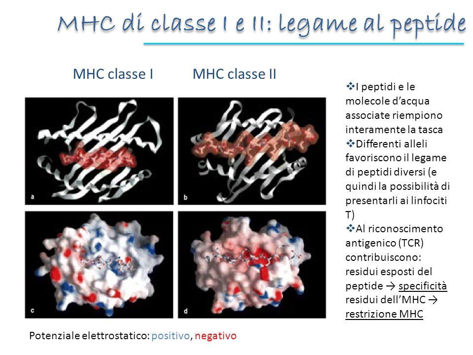 MHC classe I MHC classe II