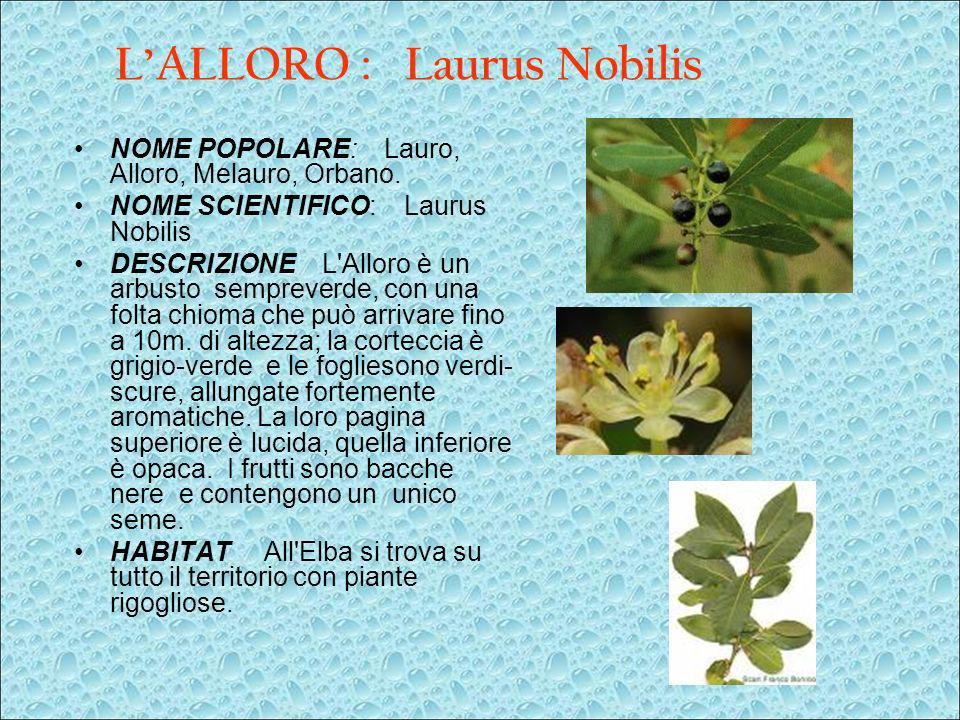 L'ALLORO : Laurus Nobilis