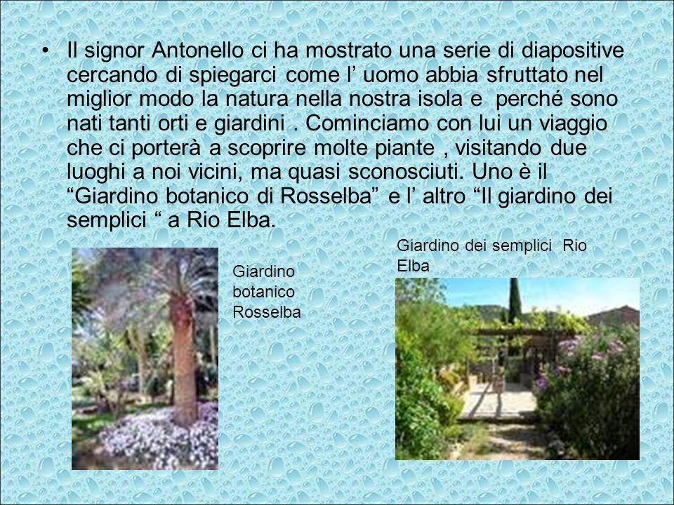 Il signor Antonello ci ha mostrato una serie di diapositive cercando di spiegarci come l' uomo abbia sfruttato nel miglior modo la natura nella nostra isola e perché sono nati tanti orti e giardini . Cominciamo con lui un viaggio che ci porterà a scoprire molte piante , visitando due luoghi a noi vicini, ma quasi sconosciuti. Uno è il Giardino botanico di Rosselba e l' altro Il giardino dei semplici a Rio Elba.