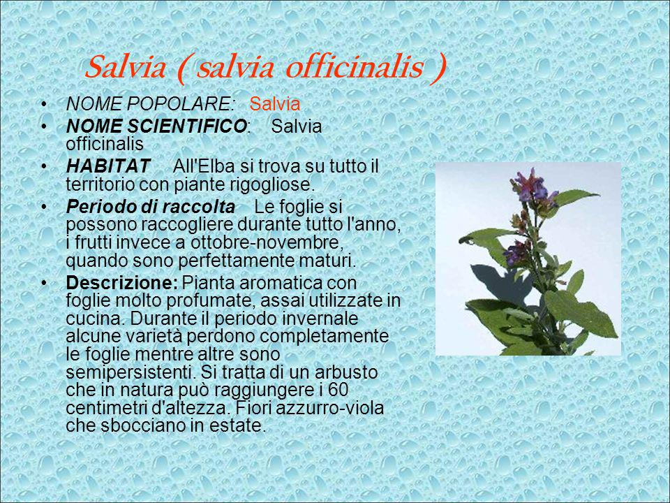 Salvia ( salvia officinalis )