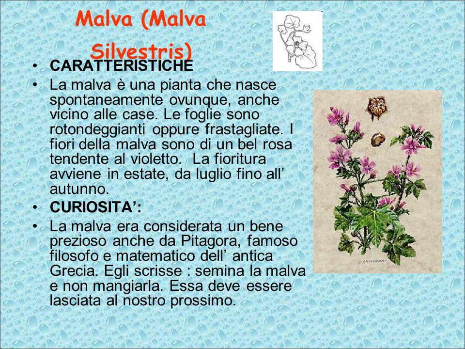 Malva (Malva Silvestris)