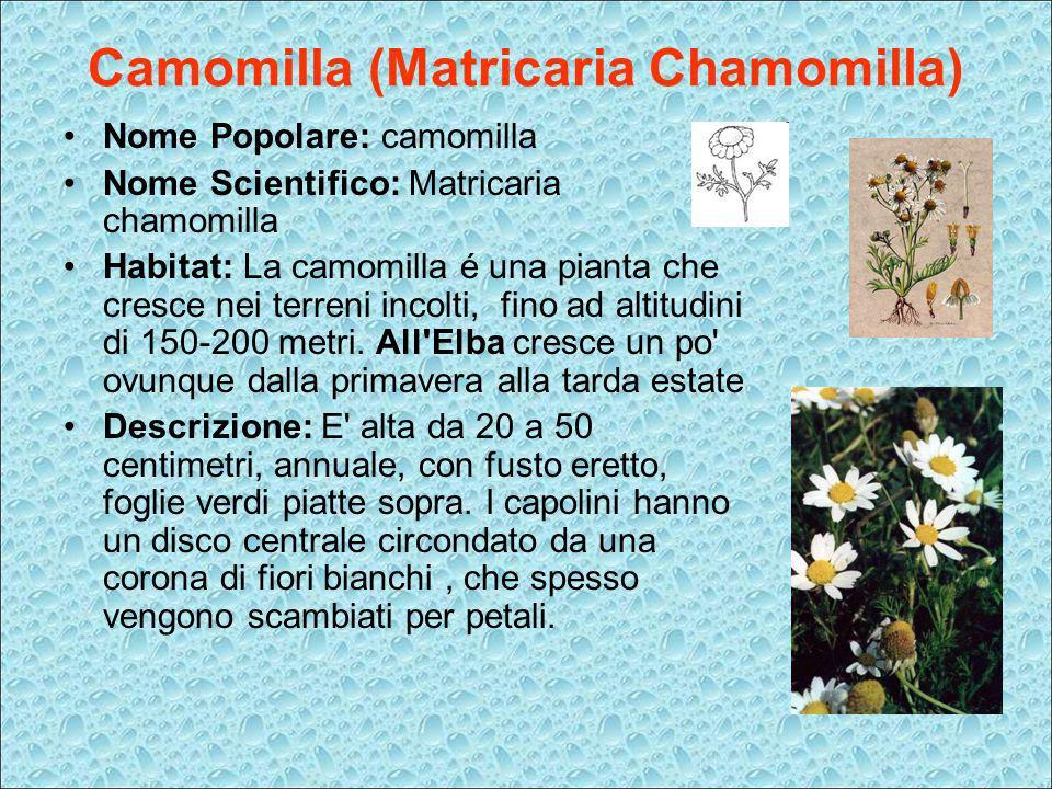 Camomilla (Matricaria Chamomilla)