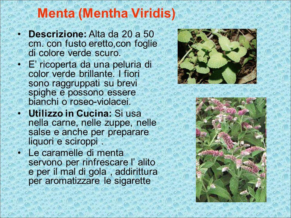 Menta (Mentha Viridis)
