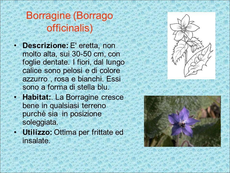 Borragine (Borrago officinalis)
