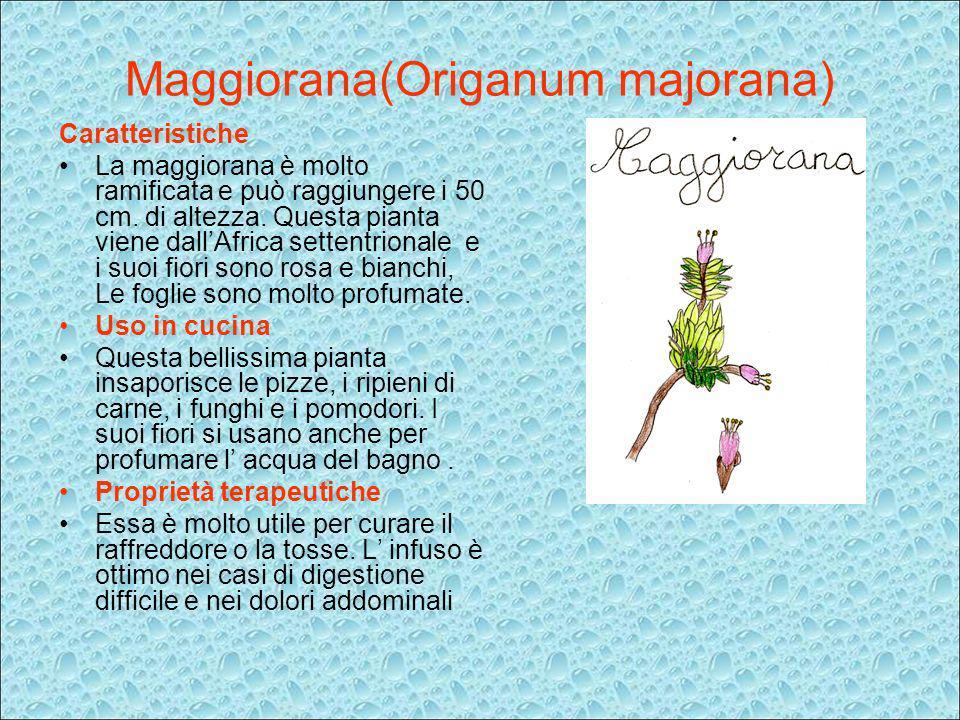 Maggiorana(Origanum majorana)