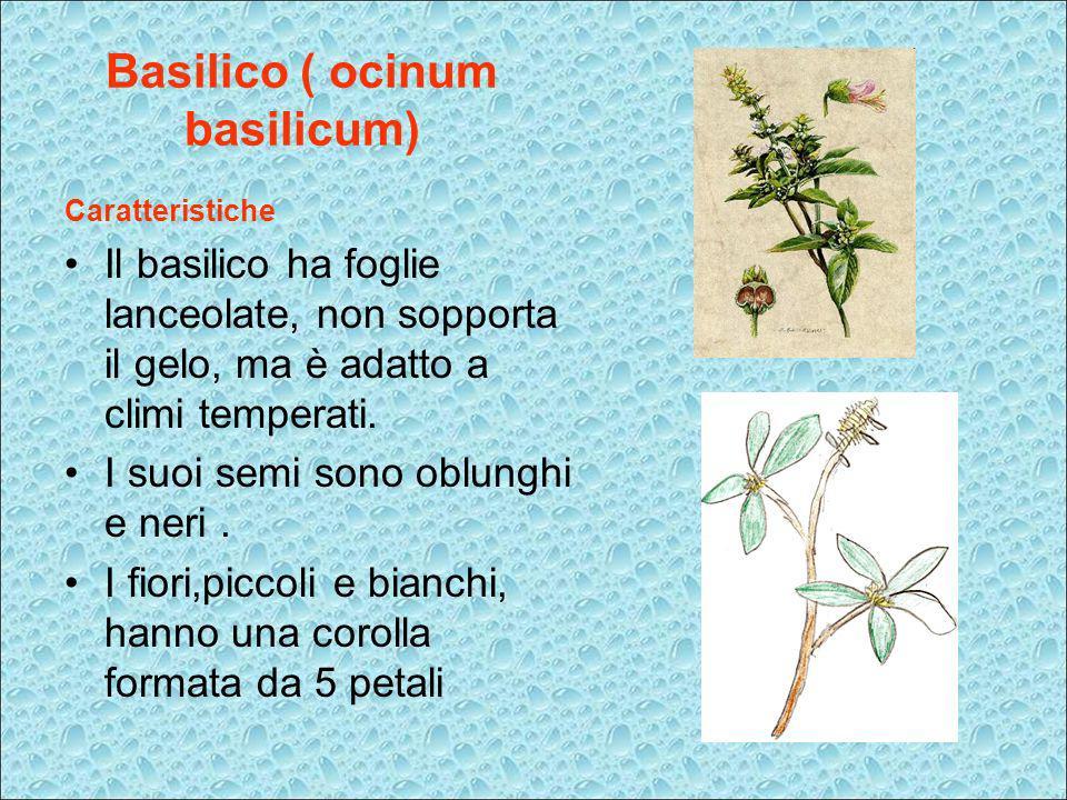 Basilico ( ocinum basilicum)