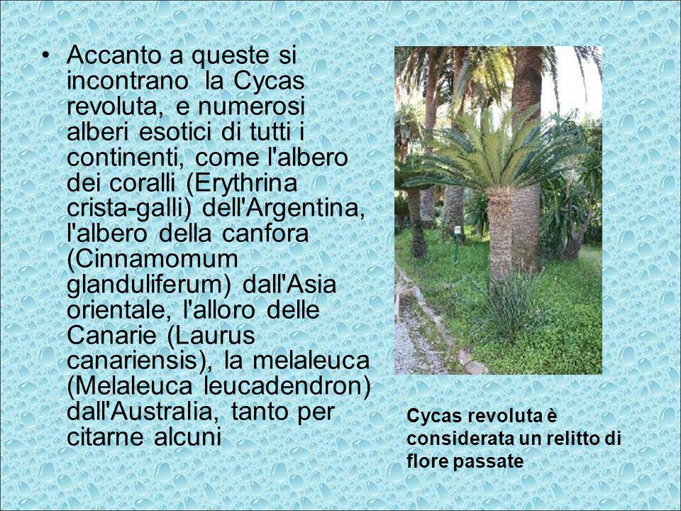 Accanto a queste si incontrano la Cycas revoluta, e numerosi alberi esotici di tutti i continenti, come l albero dei coralli (Erythrina crista-galli) dell Argentina, l albero della canfora (Cinnamomum glanduliferum) dall Asia orientale, l alloro delle Canarie (Laurus canariensis), la melaleuca (Melaleuca leucadendron) dall Australia, tanto per citarne alcuni