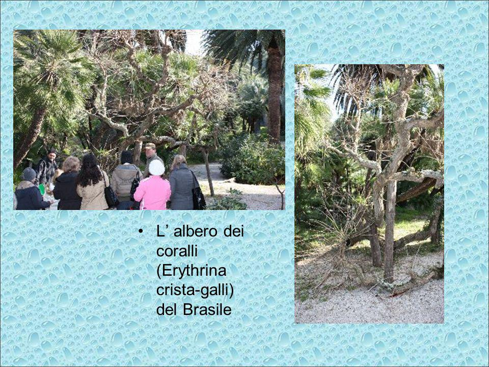 L' albero dei coralli (Erythrina crista-galli) del Brasile
