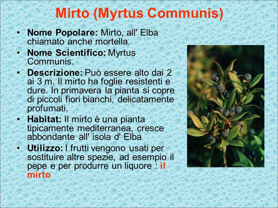 Mirto (Myrtus Communis)