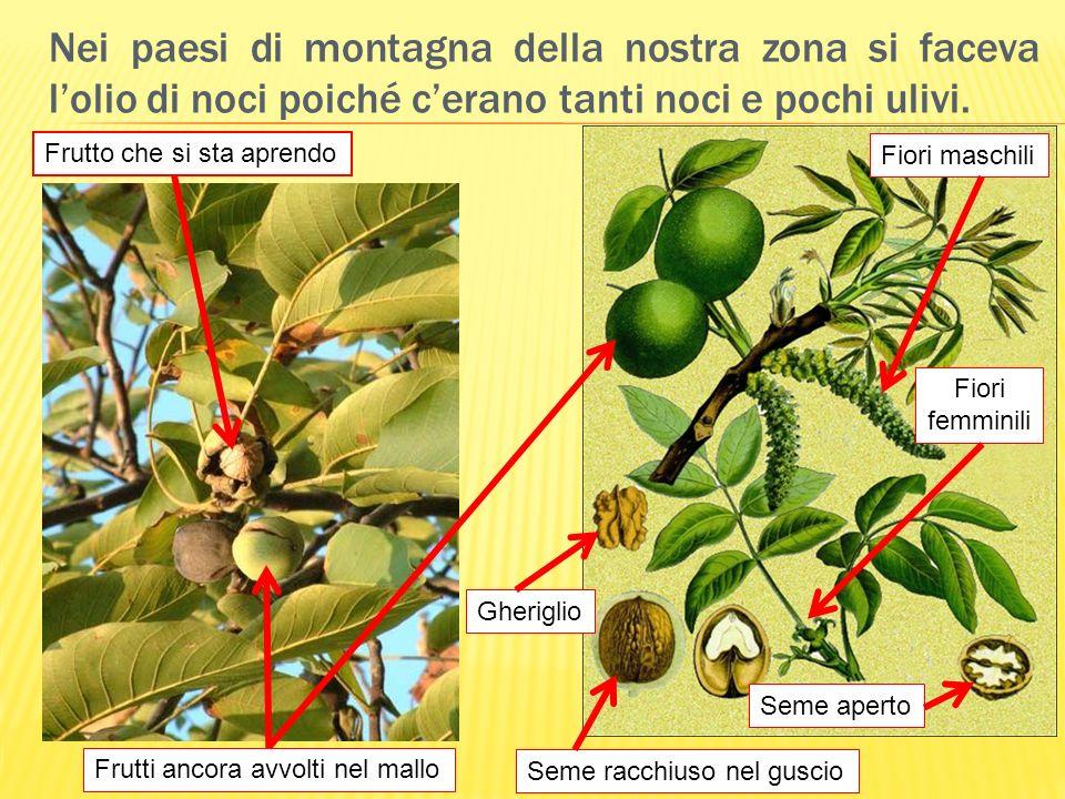 Nei paesi di montagna della nostra zona si faceva l'olio di noci poiché c'erano tanti noci e pochi ulivi.