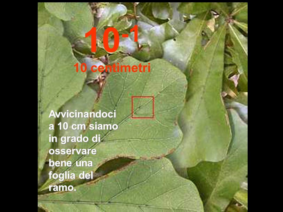 10-1 10 centimetri Avvicinandoci a 10 cm siamo in grado di osservare bene una foglia del ramo.