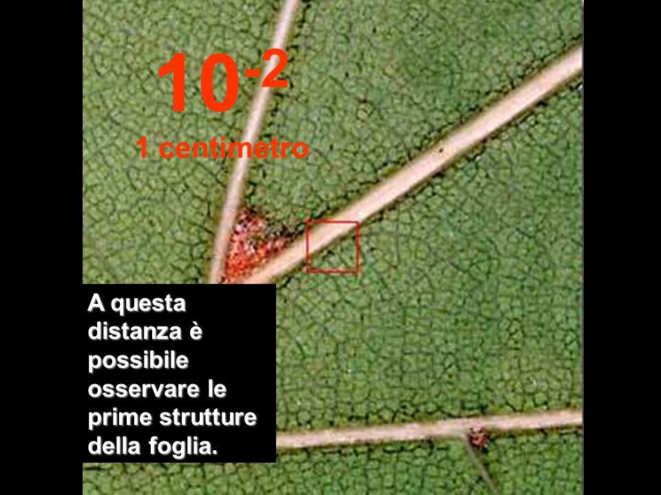 10-2 1 centimetro A questa distanza è possibile osservare le prime strutture della foglia.