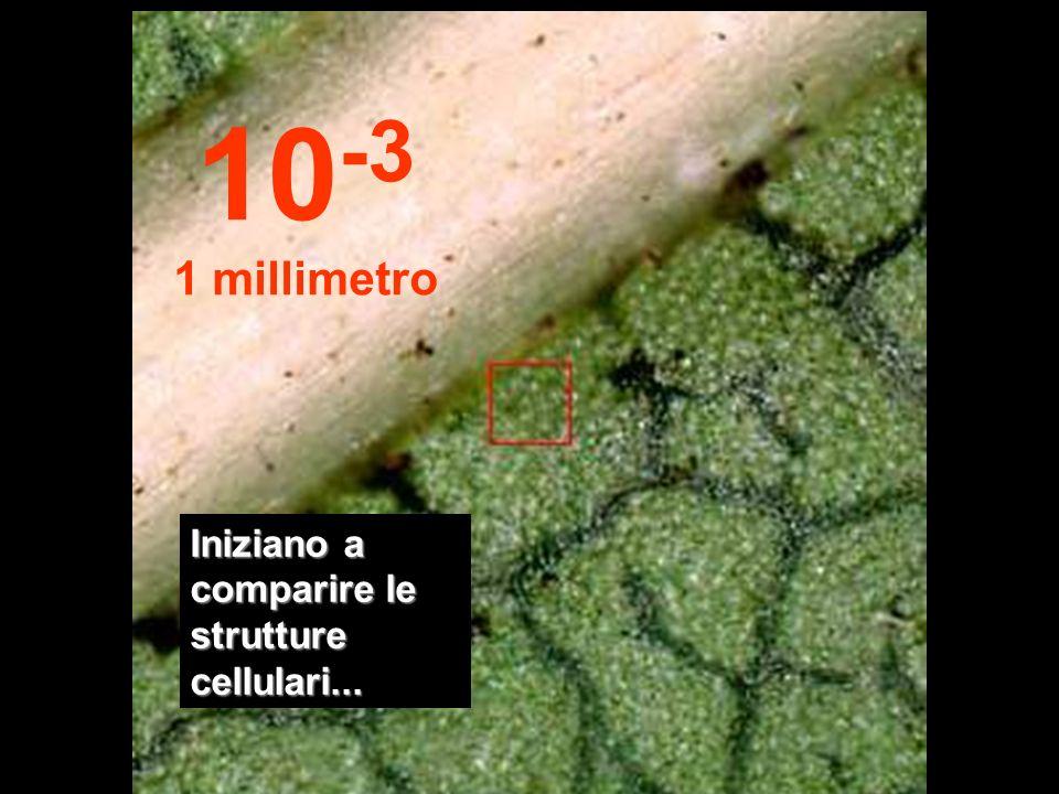 10-3 1 millimetro Iniziano a comparire le strutture cellulari...