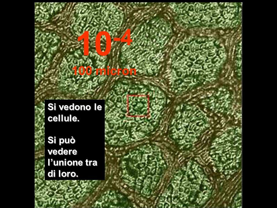10-4 100 micron Si vedono le cellule. Si può vedere l'unione tra di loro.