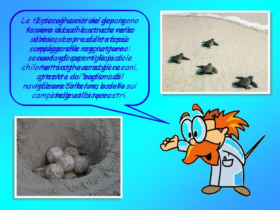 Le tartarughe marine depongono le uova in buche scavate nella sabbia, sempre sulle stesse spiagge che raggiungono nuotando per migliaia di chilometri attraverso gli oceani, grazie a un sistema di navigazione interno, basato sui campi magnetici terrestri.