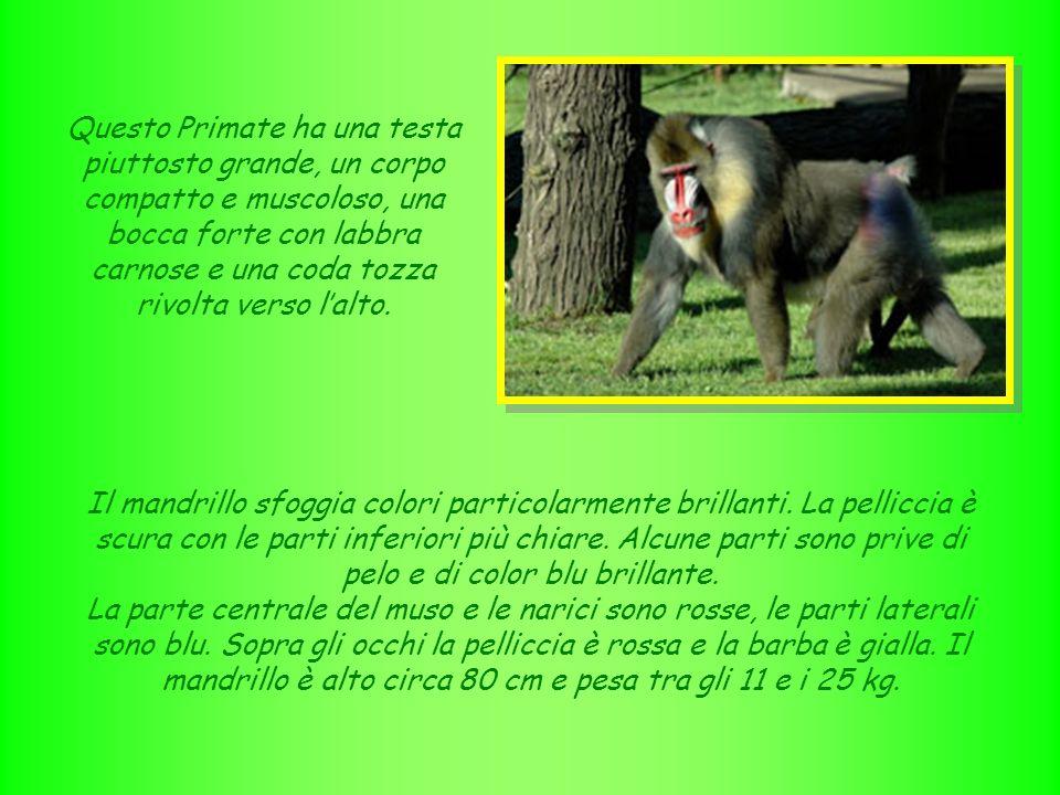 Questo Primate ha una testa piuttosto grande, un corpo compatto e muscoloso, una bocca forte con labbra carnose e una coda tozza rivolta verso l'alto.