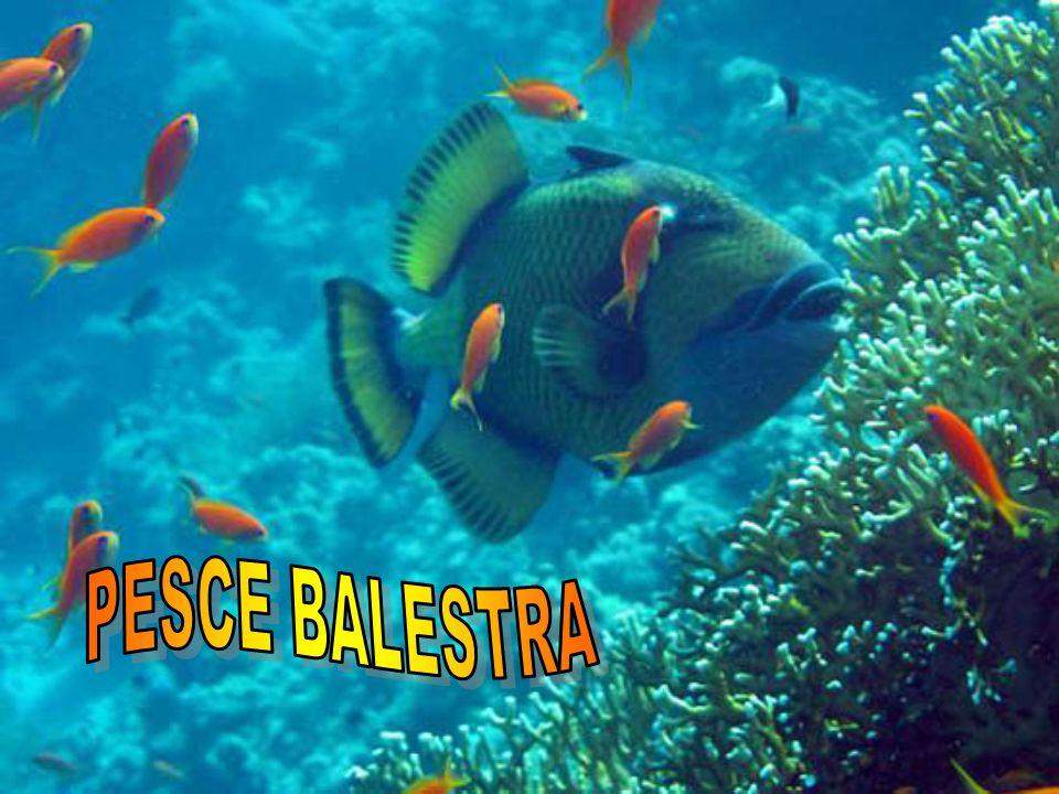 PESCE BALESTRA