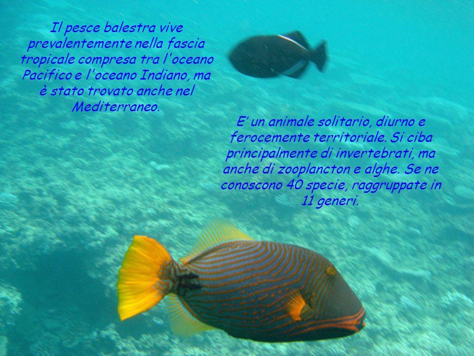 Il pesce balestra vive prevalentemente nella fascia tropicale compresa tra l oceano Pacifico e l oceano Indiano, ma è stato trovato anche nel Mediterraneo.