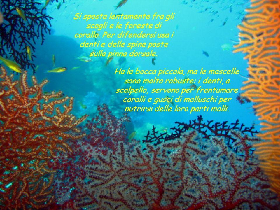 Si sposta lentamente fra gli scogli e le foreste di corallo
